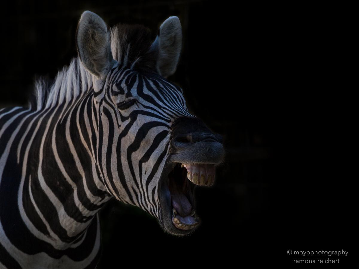 chapman zebra - zoo zürich - 2016