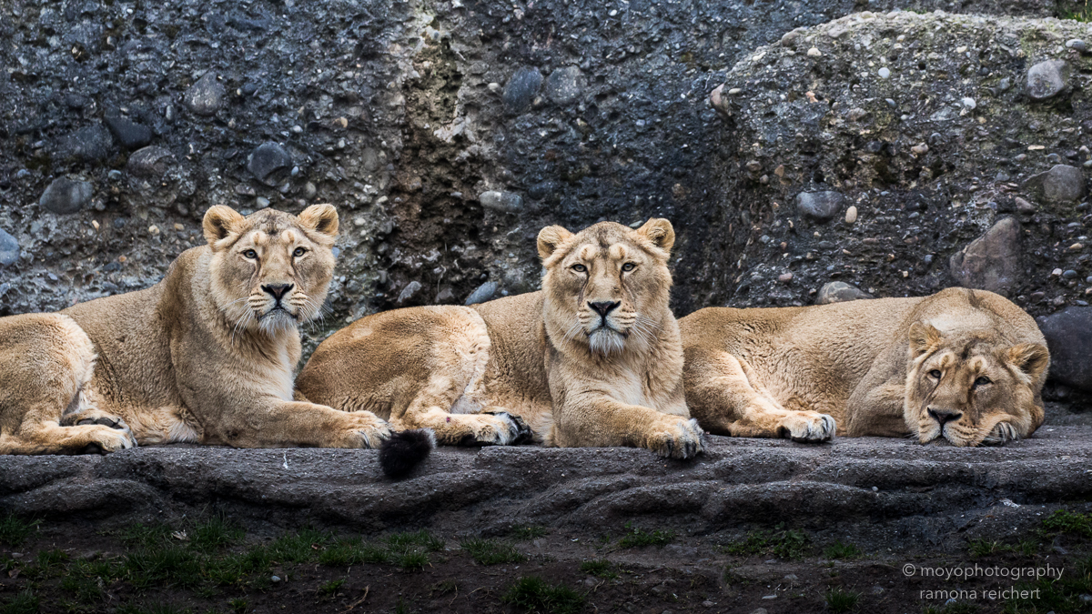 indian lionesses - zoo zürich - 2016