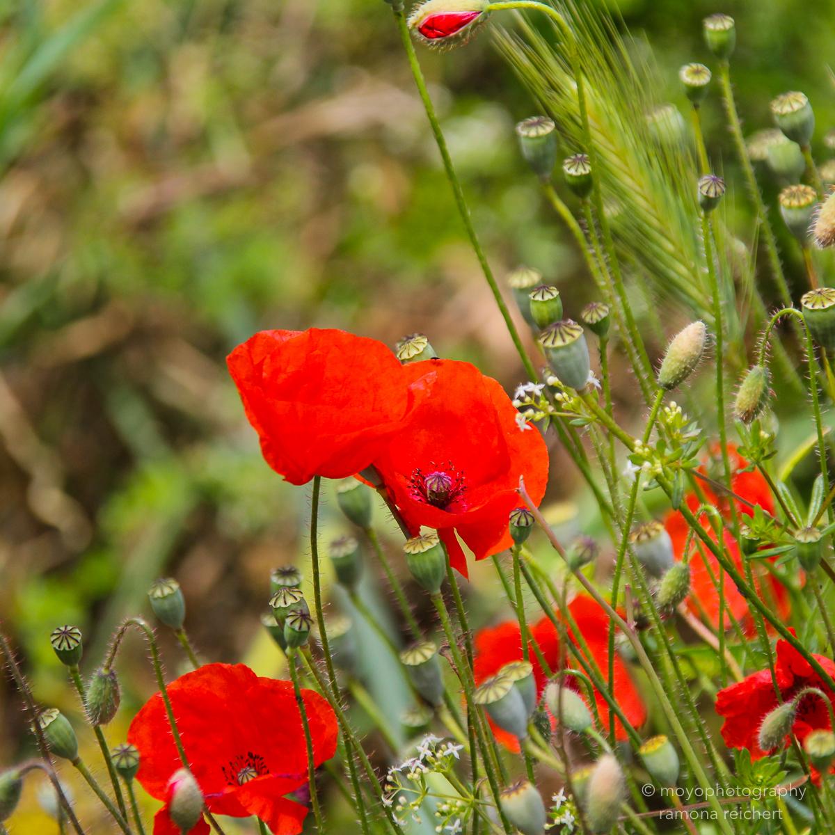 poppy red - 2013