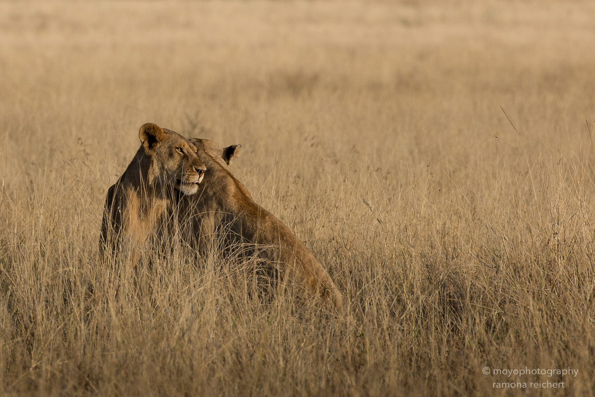 lion tenderness - 2015