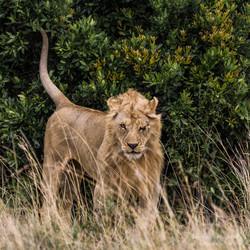 lion warrior - 2013
