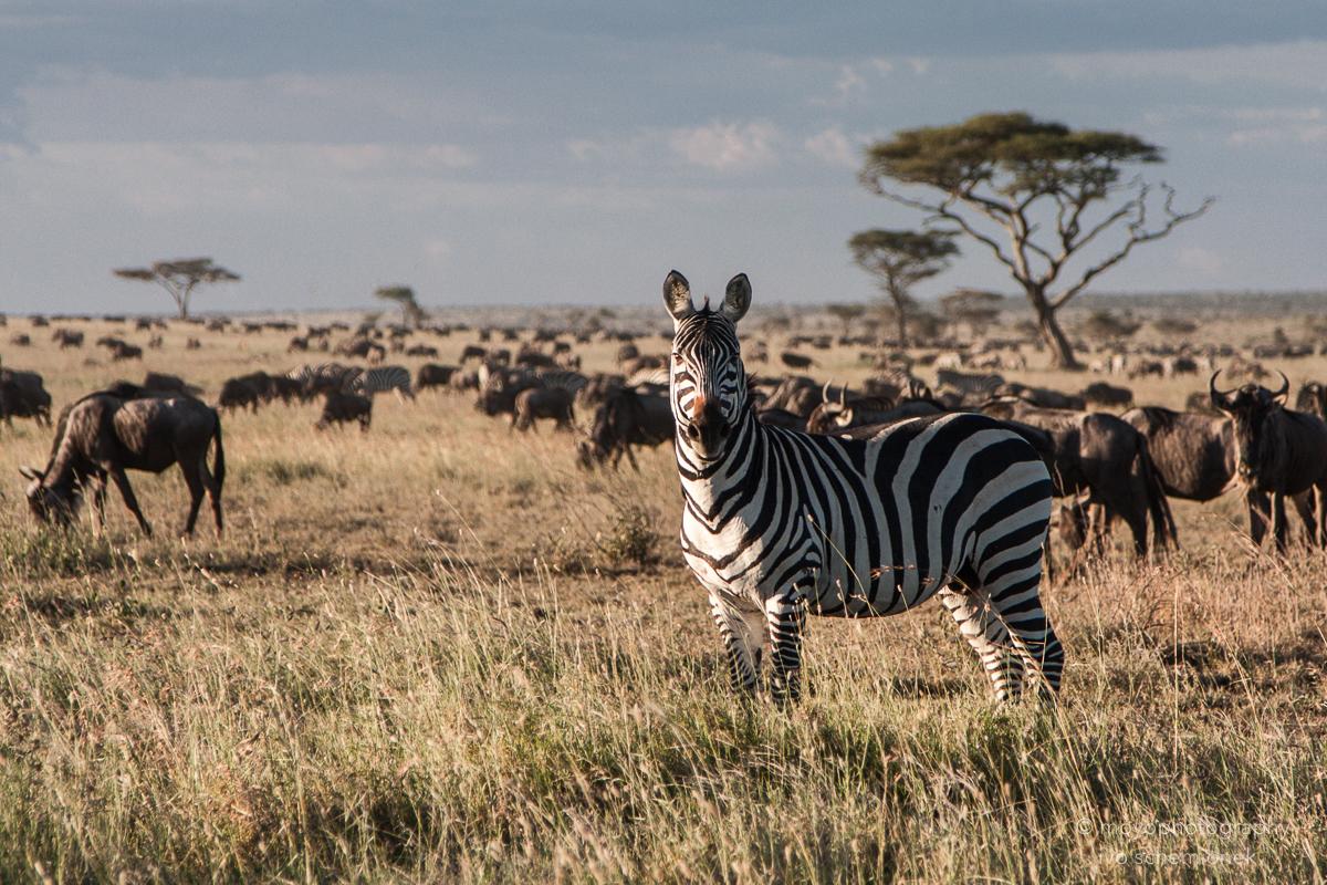 among wildebeest - 2014