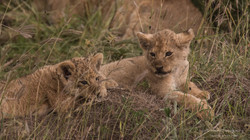 lion cubs waiting for dinner - 2015