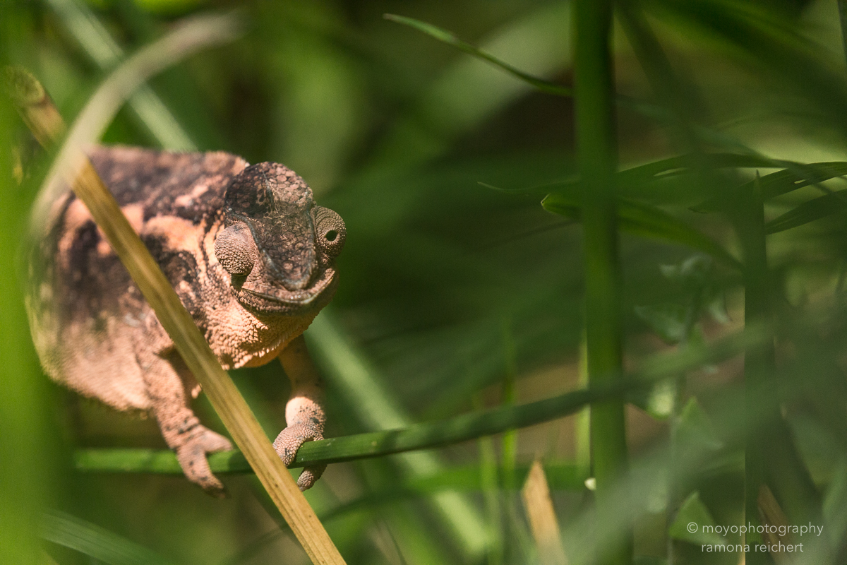 chameleon - zoo zürich - 2016