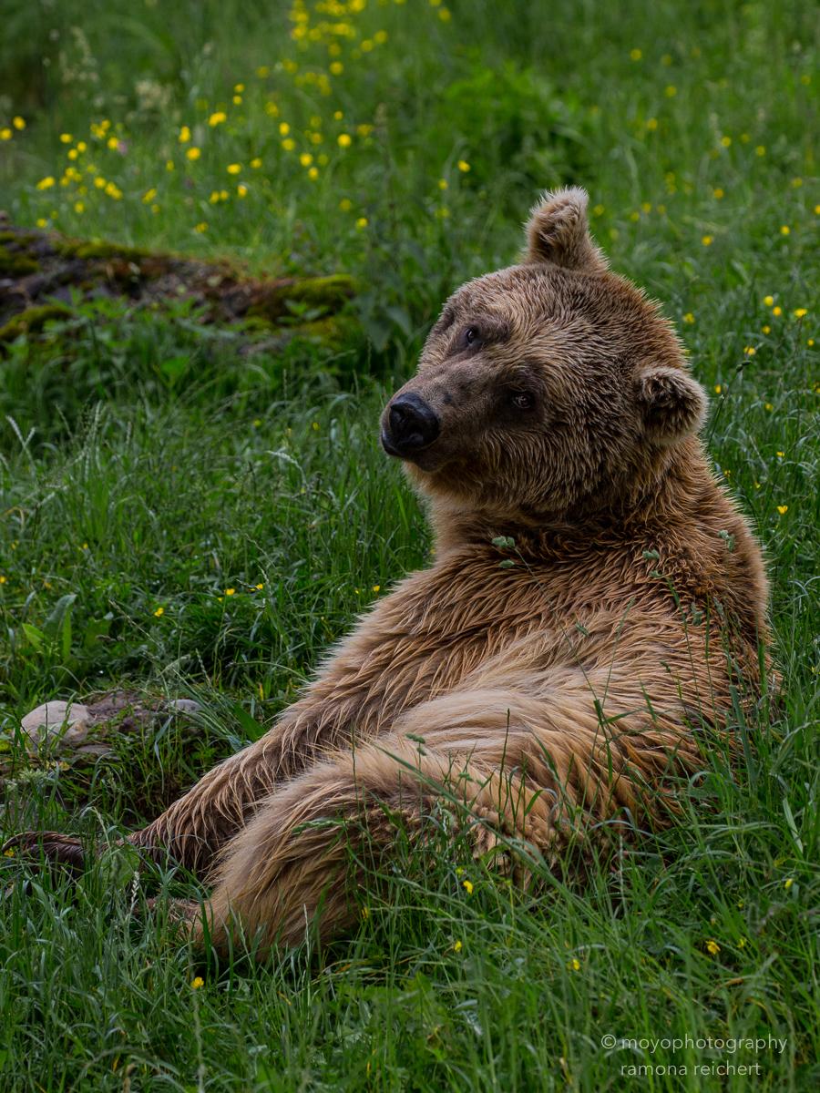 brown bear - tier park gold - 2016