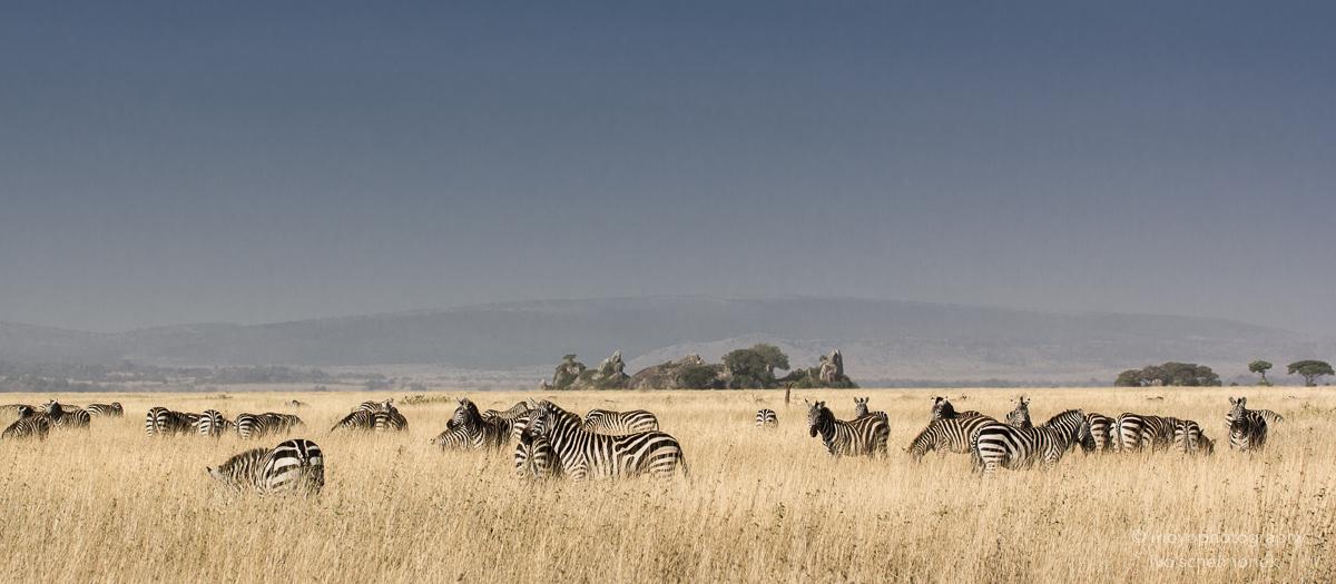 zebras in the plain - 2015