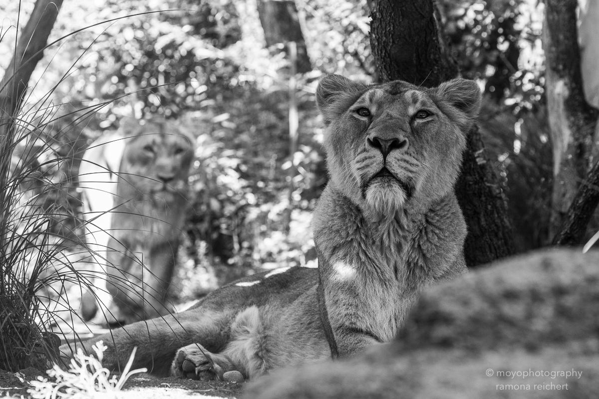 indian lioness - zoo zürich - 2016