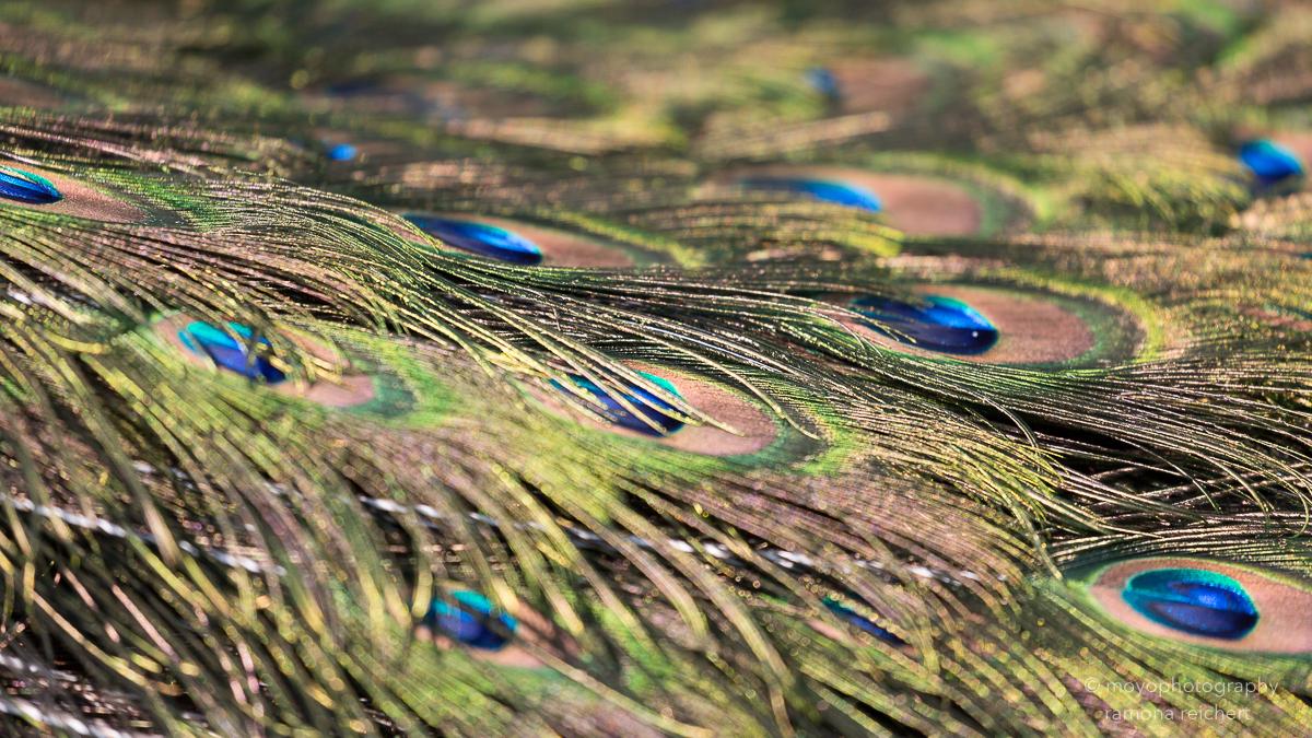 peacock eyes - zoo zürich - 2016
