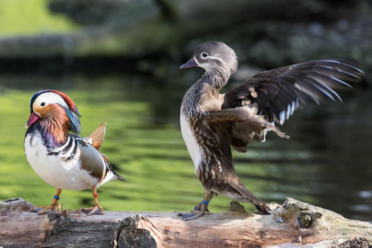 mandarin ducks - zoo zürich - 2016