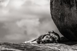 lizards on sleeping lion