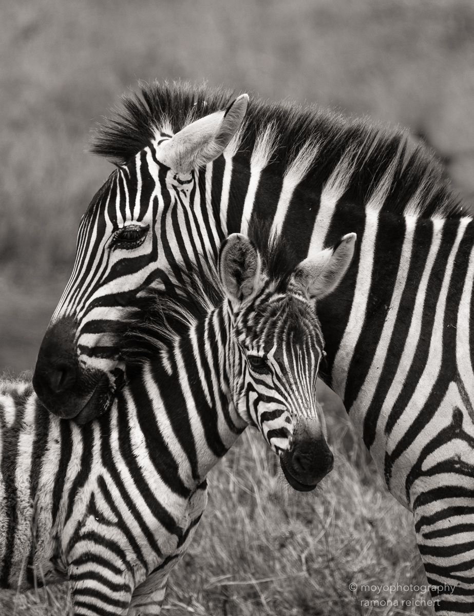 zebra mother and kid - 2014