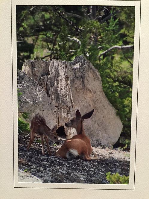 C-3312 Baby And Mom Deer Hot Springs