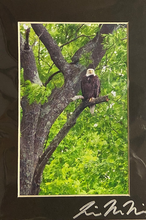M5x7-4744 Eagle On Branch WI