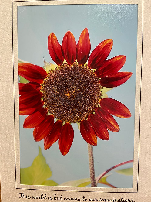 C-4532 East Coast Red Sunflower