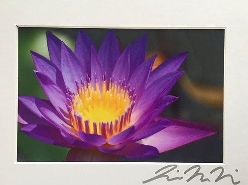 M5x7-7345 Purple Lillypad