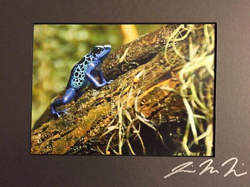 M8x10-9991 Blue Dart Frog