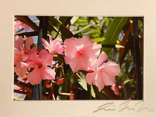 M5x7-3313 Italy Pink Flowers @ Restaurant
