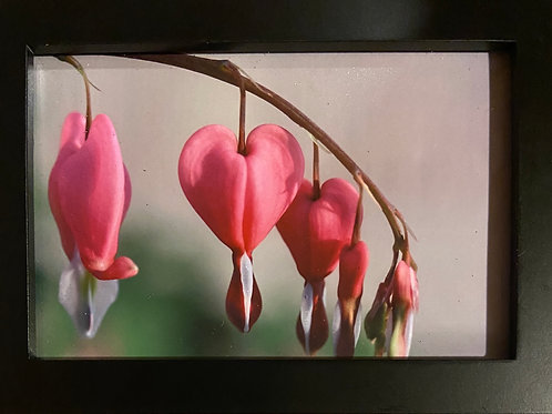 F5x7-6481 Bleeding Heart