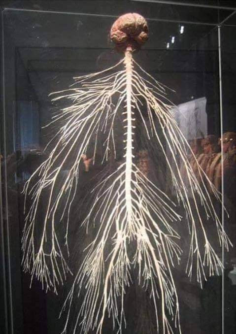 human nerves as affected by massage