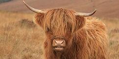 Highland-cattle-iStock.jpg