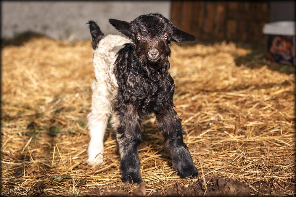 Wir sind Mutter-Ziege....Ziegennachwuchs bei den Weidetieren..