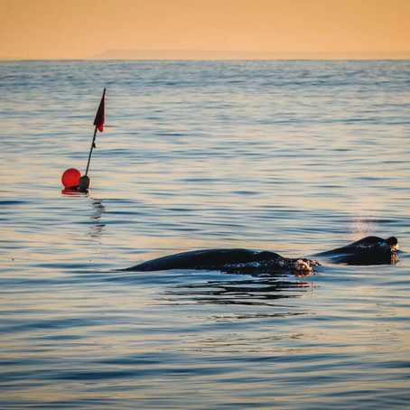 Uma nova baleia?