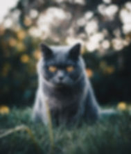adorable-animal-british-shorthair-152130