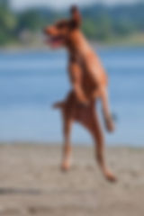 TEVCO Vizsla playing on the beach