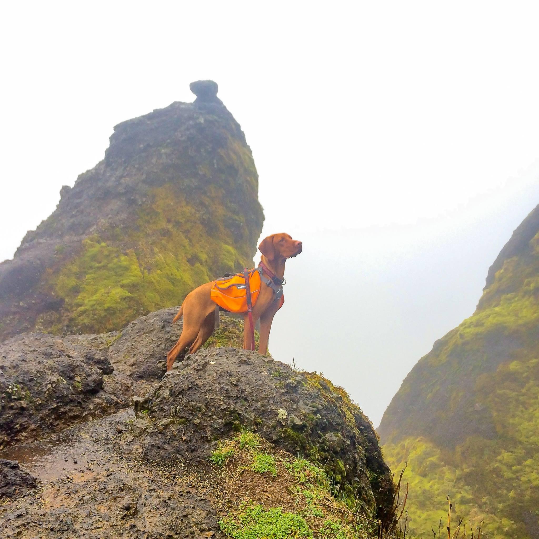 Vizsla Puppies for sale in Oregon USA