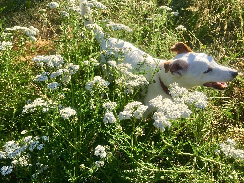 My dog Oscar with the yarrow.