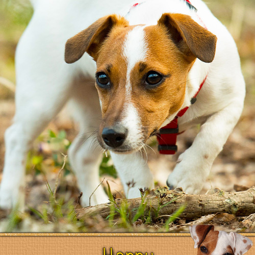 Jack Russell Birthday Cards Giftsbobs
