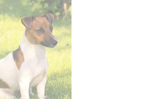 Jack Russell Dog Birthday Card
