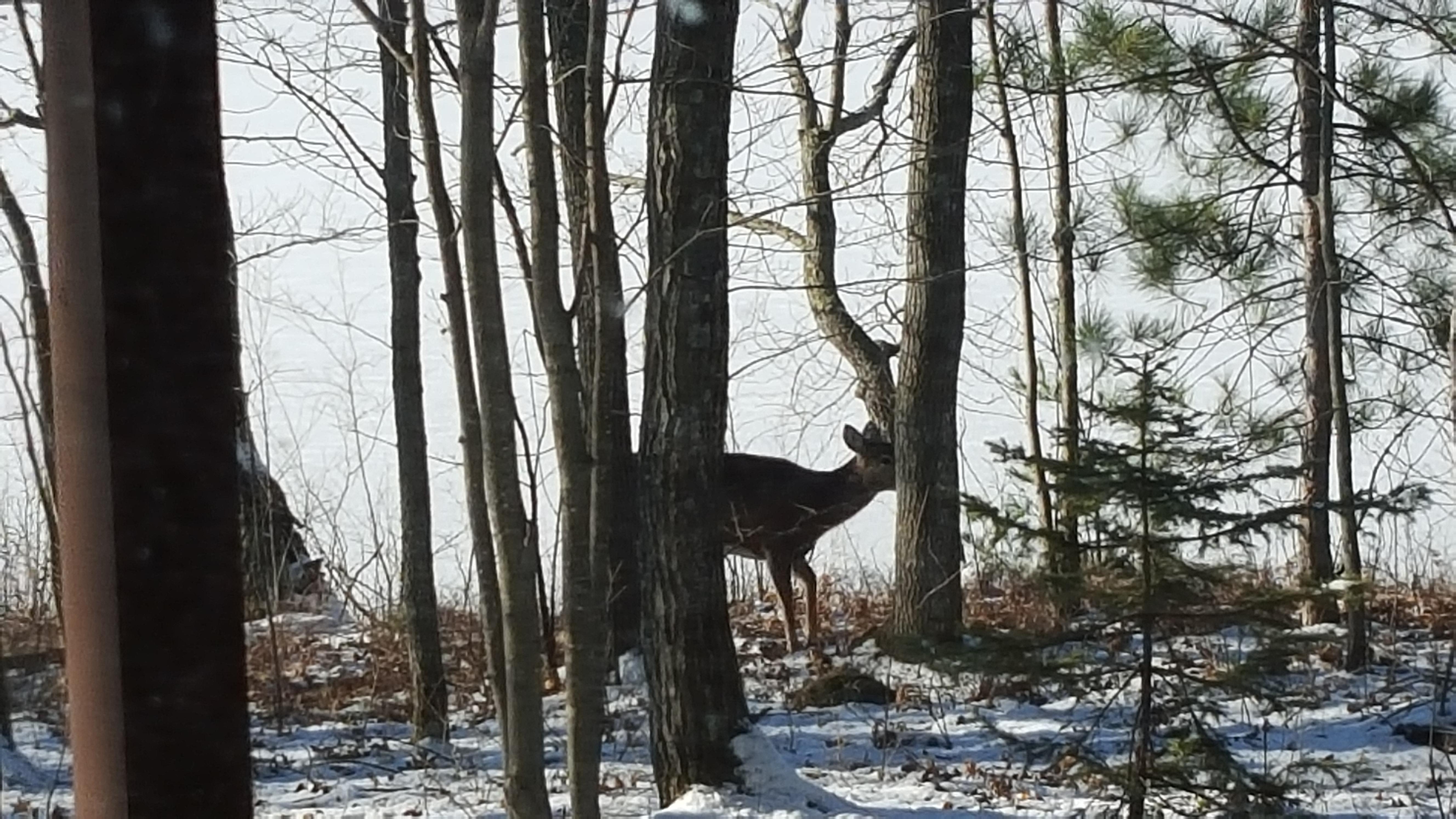 Deer off a trail