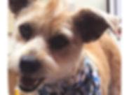 Dog with mohawk