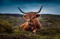 Schotse hooglander liggend