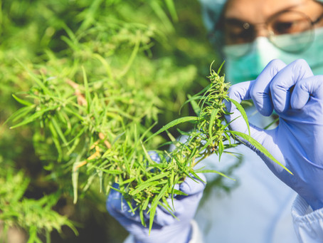 Research on Medicinal Cannabis is Paramount