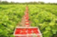 strawberries%202_edited.jpg