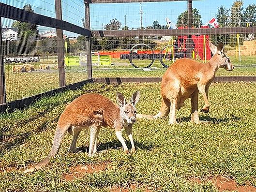 kangaroo3_edited.jpg