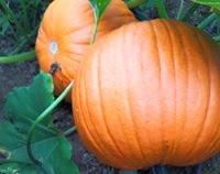 U-Pick Pumpkin Patch