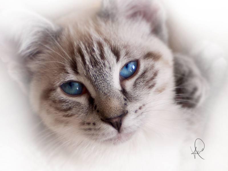 cat-blue-eyes