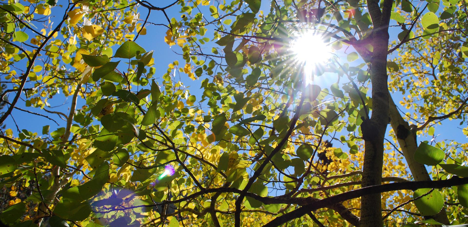 Aspen in the Sun