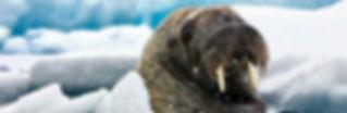 Groenlandia morsas en Illulisaat.jpg