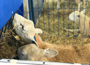 Looking Back at Wisconsin Sheep & Wool Festival 2018!