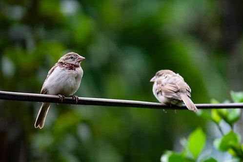 Two Sparrows - Piano