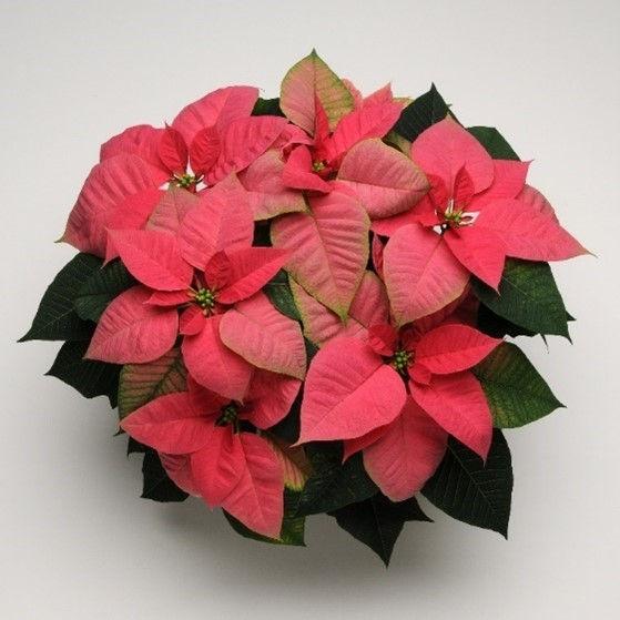 Pink Poinsettia.jpg