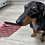Thumbnail: The Dachshund