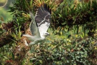Gavilán Blanco (Pseudastor albicollis)