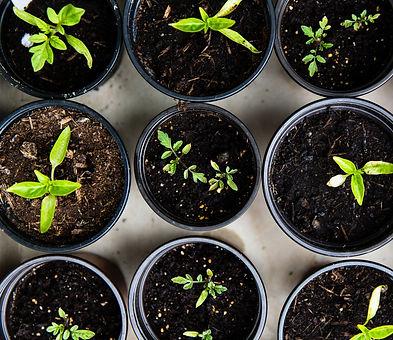 green%20leafed%20seedlings%20on%20black%20plastic%20pots_edited.jpg