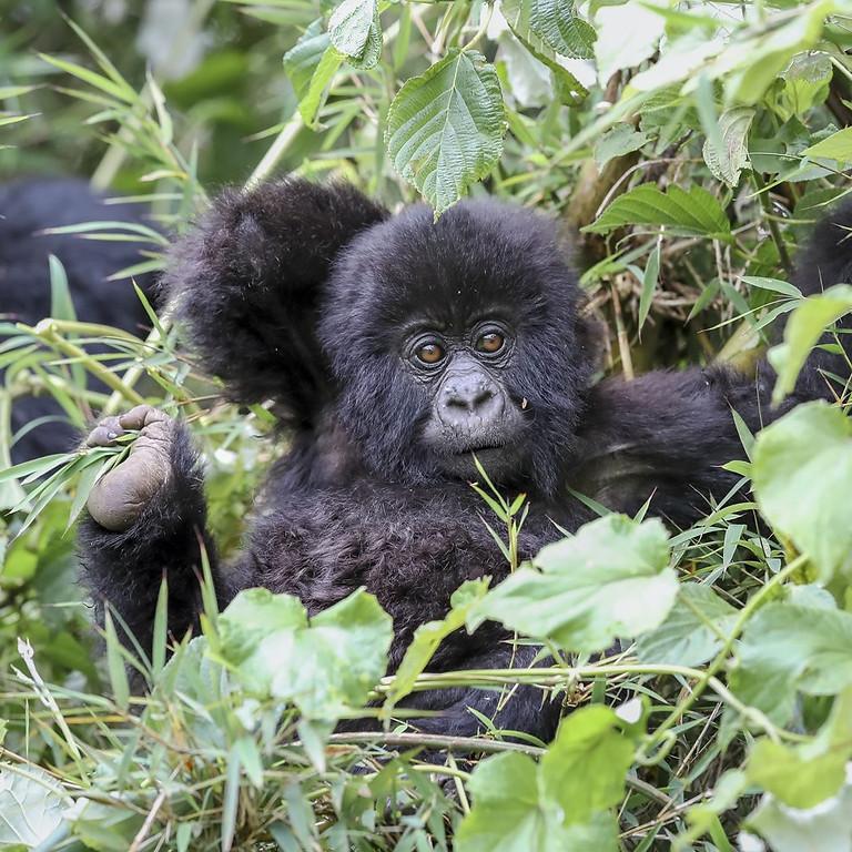4 Days Lowland Gorillas trekking and Nyiragongo Hiking