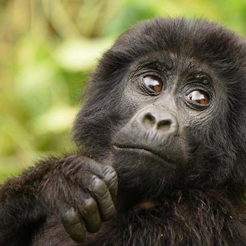 12 Day Rwanda and Uganda Safaris